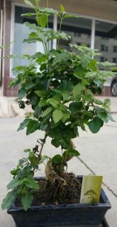 Bonsai japon ağacı saksı bitkisi  Ankara Sincan 14 şubat sevgililer günü çiçek