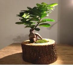 Doğal kütükte Bonsai japon ağacı satışı  cicek siparisi Ankara Sincan cicek , cicekci