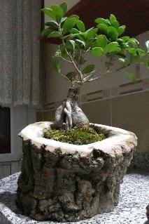 Ahşap kütük içerisinde ginseng bonsai  Ankara Sincan uluslararası çiçek gönderme