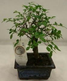 Minyatür ithal japon ağacı bonsai bitkisi  Ankara Sincan çiçek siparişi sitesi