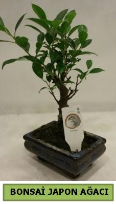 Bonsai japon ağacı saksı bitkisi  Ankara Sincan online çiçekçi , çiçek siparişi