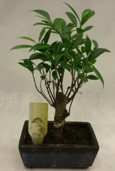 Japon ağacı bonsai bitkisi satışı  Ankara Sincan çiçekçi mağazası