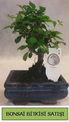 Bonsai ithal görsel minyatür japon ağacı  Online Ankara Sincan çiçekçiler