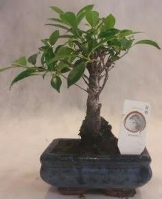 Bonsai ağacı japon ağaç bitkisi  Ankara Sincan ucuz çiçek gönder