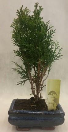 SINIRLI SAYIDA ÜRÜN Selvi Bonsai  Online Ankara Sincan çiçek satışı