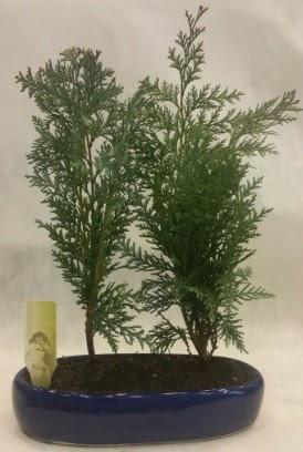 SINIRLI SAYIDA Selvi Ağacı bonsai ikili  Ankara Sincan çiçekçi mağazası