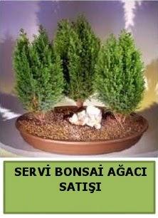 BONSAİ 3 LÜ SERVİ BONSAİ AĞACI  Ankara Sincan çiçekçi mağazası