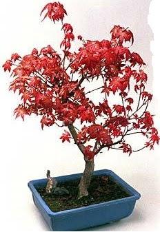 Amerikan akçaağaç bonsai bitkisi  Ankara Sincan ucuz çiçek gönder