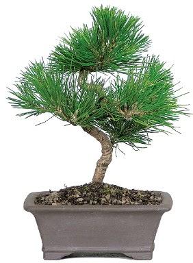 Çam ağacı bonsai japon ağacı bitkisi  Ankara Sincan hediye çiçek yolla
