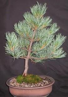 Bonsai çam ağacı japon ağacı bitkisi  Ankara Sincan online çiçek gönderme sipariş