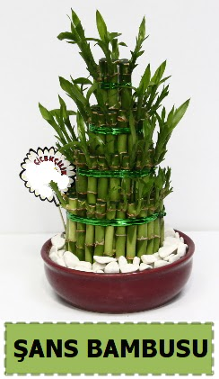 Şans piramit bambu saksı bitkisi  Ankara Sincan çiçek siparişi sitesi
