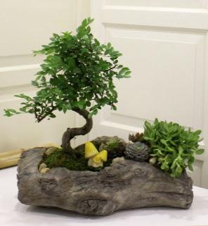 Ağaç kütük içerisinde bonsai ve sukulent  Ankara Sincan çiçek , çiçekçi , çiçekçilik