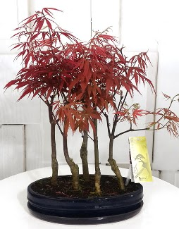5 adet japon akçaağaç bonsai çiçeği  Ankara Sincan çiçek siparişi sitesi