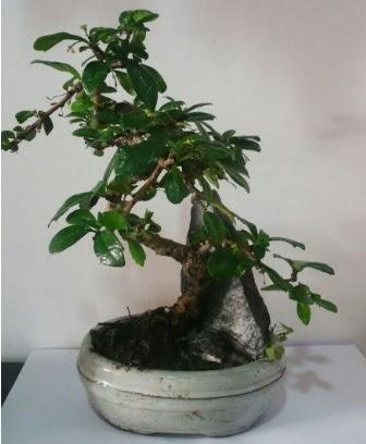 S şeklinde ithal bonsai ağacı  Ankara Sincan ucuz çiçek gönder