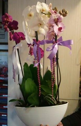 Mor ve beyaz ve pembe 6 dallı orkide  Online Ankara Sincan çiçekçiler