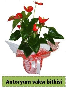 Antoryum saksı bitkisi büyük boy satışı  sincan çiçekçi Ankara Sincan internetten çiçek satışı