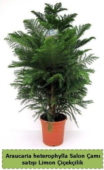 Salon Çamı Satışı Araucaria heterophylla  Ankara Sincan çiçek siparişi sitesi