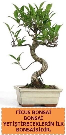 Ficus bonsai 15 ile 25 cm arasındadır  Ankara Sincan ucuz çiçek gönder