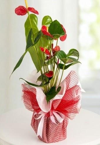 Anthurium Saksı Çiçeği  Ankara Sincan internetten çiçek siparişi