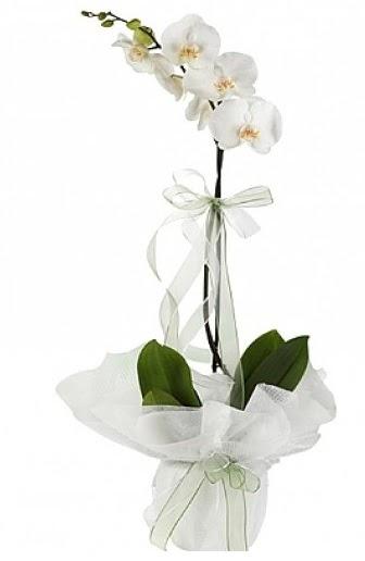 Tekli Beyaz Orkide  Ankara Sincan internetten çiçek siparişi