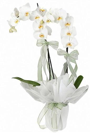 Çift Dallı Beyaz Orkide  Ankara Sincan kaliteli taze ve ucuz çiçekler
