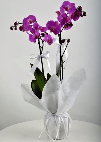 Çift dallı saksıda mor orkide çiçeği  Ankara Sincan 14 şubat sevgililer günü çiçek