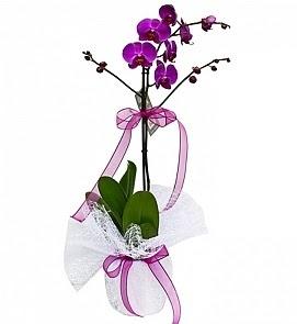 Tek dallı saksıda ithal mor orkide çiçeği  Ankara Sincan cicekciler , cicek siparisi
