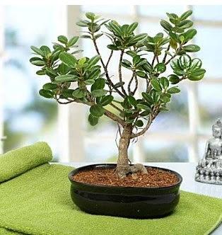 Lovely Ficus Iceland Bonsai  Ankara Sincan kaliteli taze ve ucuz çiçekler