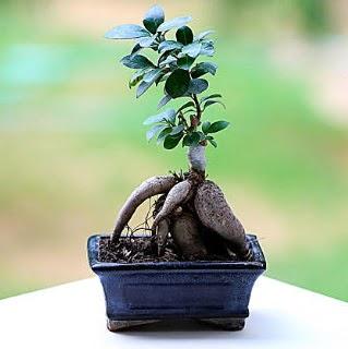 Marvellous Ficus Microcarpa ginseng bonsai  Ankara Sincan 14 şubat sevgililer günü çiçek