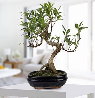 Gorgeous Ficus S shaped japon bonsai  Sincan çiçek siparişi Ankara Sincan çiçek yolla