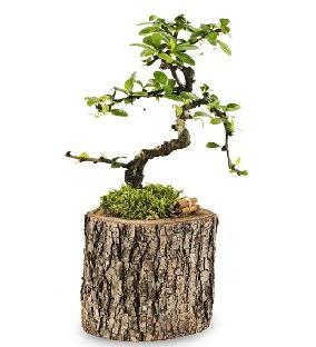 Doğal kütükte S bonsai ağacı  Ankara Sincan çiçek siparişi sitesi
