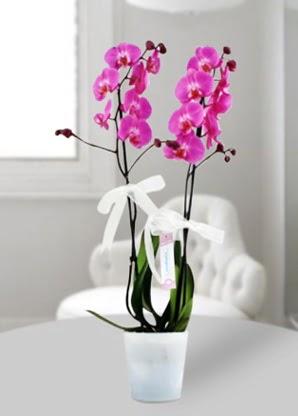Çift dallı mor orkide  Ankara Sincan cicekciler , cicek siparisi