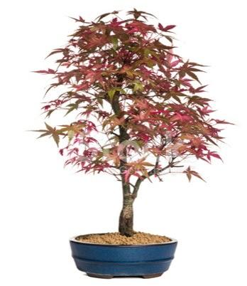 Akçaağaç bonsai süper bonsai ağacı  Ankara Sincan hediye sevgilime hediye çiçek