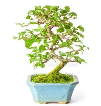 S zerkova bonsai kısa süreliğine  Online Ankara Sincan çiçek satışı