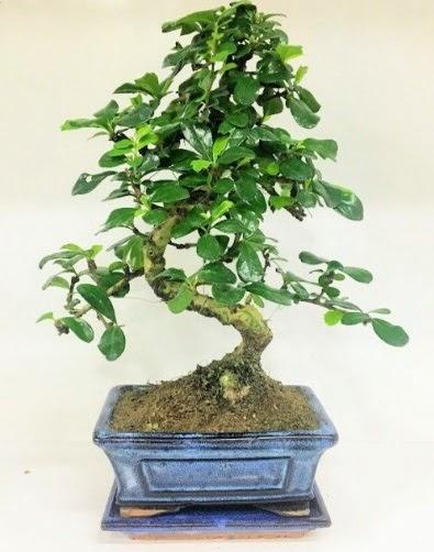 S Bonsai japon ağacı bitkisi  Ankara Sincan çiçek servisi , çiçekçi adresleri