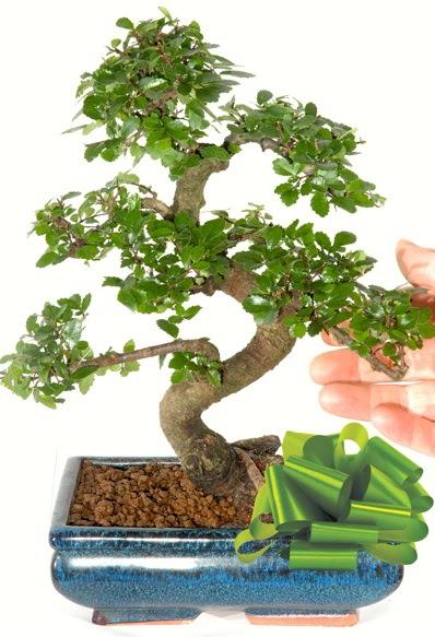 Yaklaşık 25 cm boyutlarında S bonsai  Ankara Sincan online çiçek gönderme sipariş