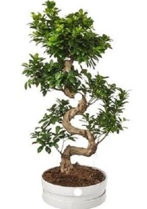 90 cm ile 100 cm civarı S peyzaj bonsai  Ankara Sincan çiçek , çiçekçi , çiçekçilik