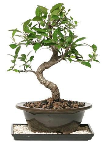 Altın kalite Ficus S bonsai  Ankara Sincan çiçekçi mağazası  Süper Kalite