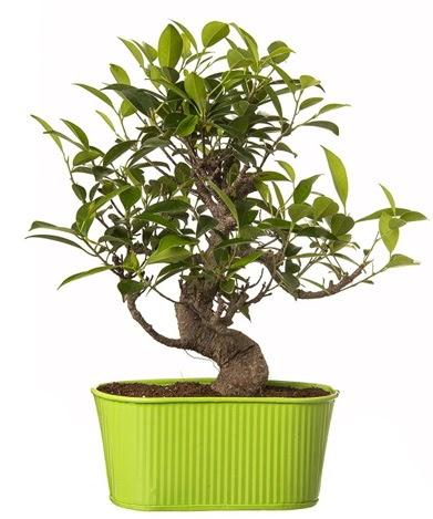 Ficus S gövdeli muhteşem bonsai  Ankara Sincan online çiçek gönderme sipariş