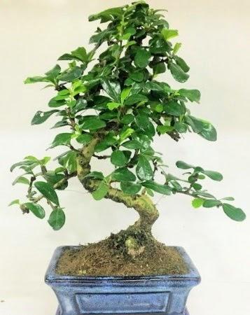Zelkova S gövdeli Minyatür ağaç Bonzai  Ankara Sincan hediye çiçek yolla