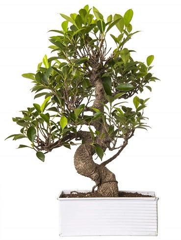 Exotic Green S Gövde 6 Year Ficus Bonsai  Ankara Sincan çiçek , çiçekçi , çiçekçilik