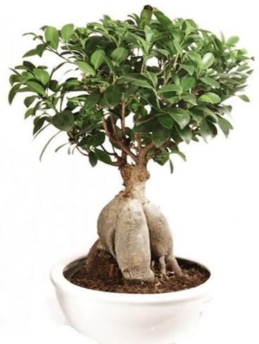 Ginseng bonsai japon ağacı ficus ginseng  Online Ankara Sincan çiçek satışı
